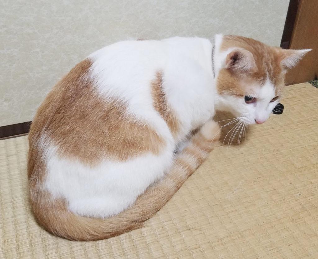 猫みゅーみゅーちゃんのしっぽ
