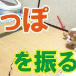 【動画】しっぽを振る猫