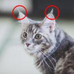ネコ耳について