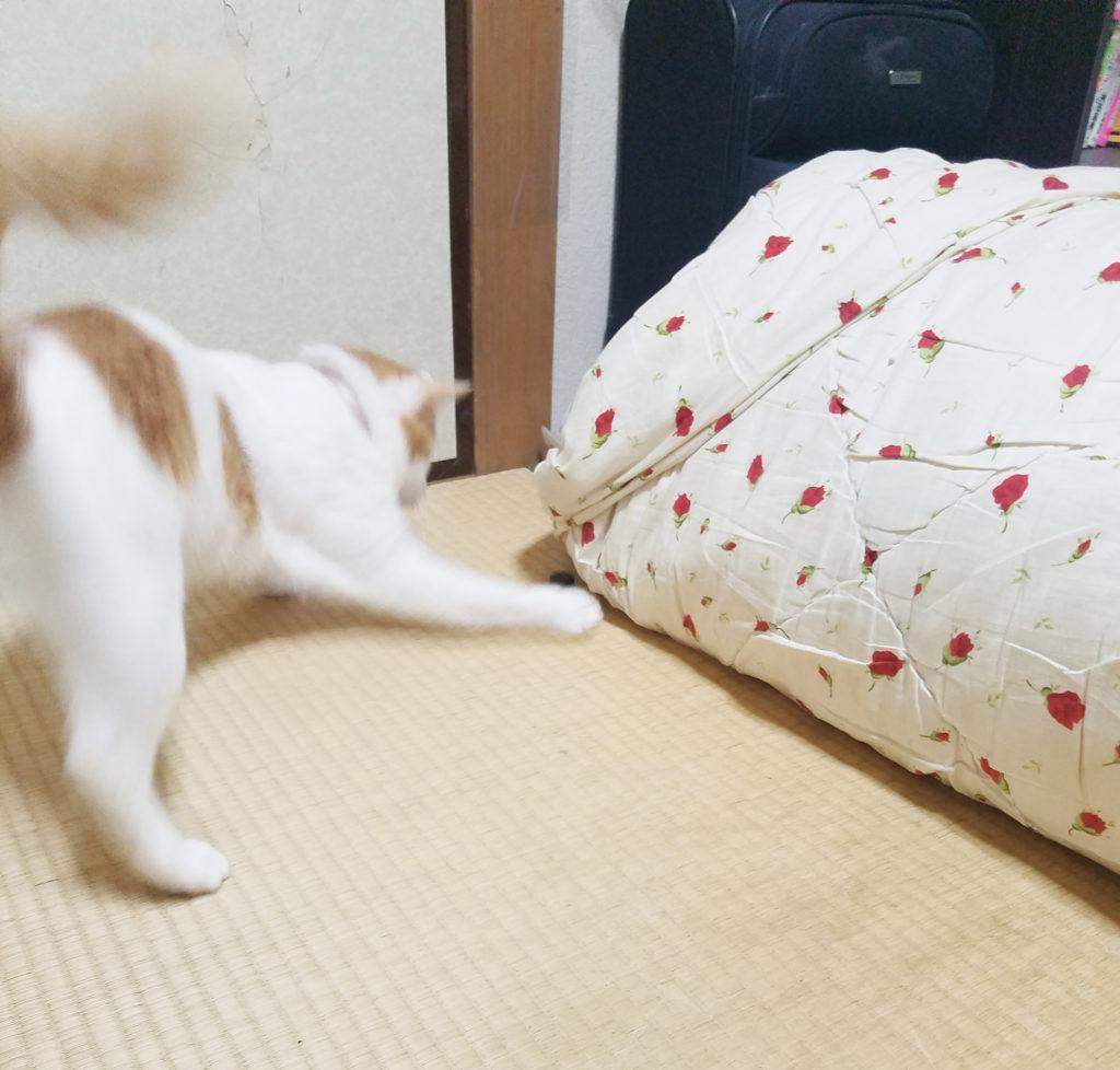 じゃれる猫のみゅーみゅー しっぽに注目