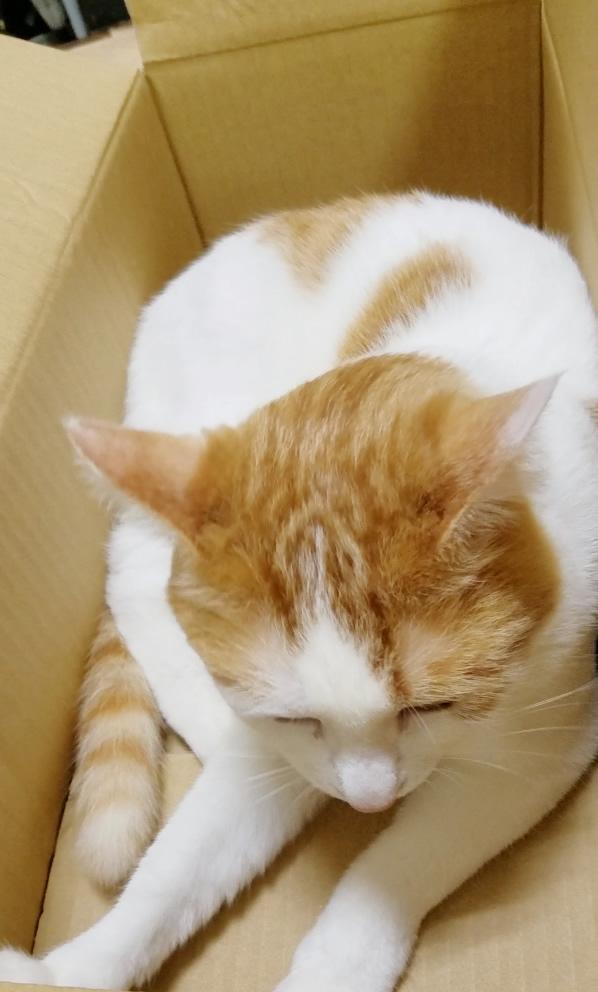段ボールに入る猫のみゅーみゅー