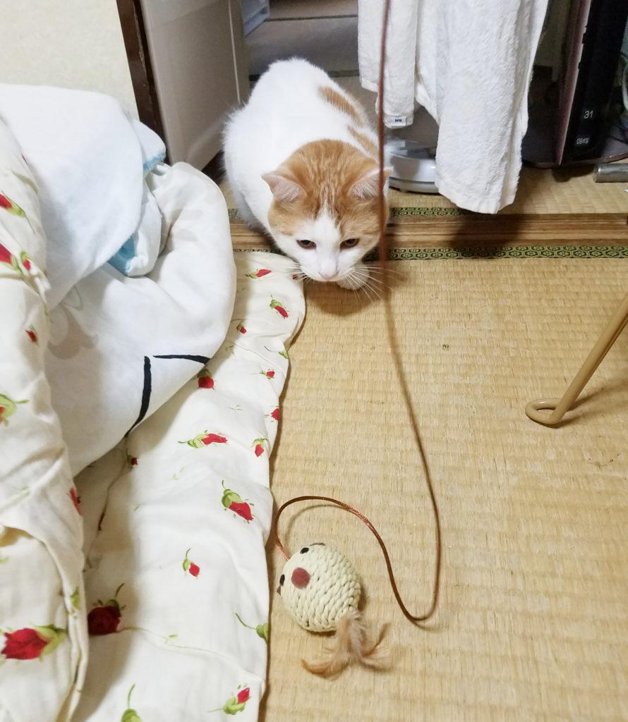 猫のおもちゃに狙いを定める猫のみゅーみゅー